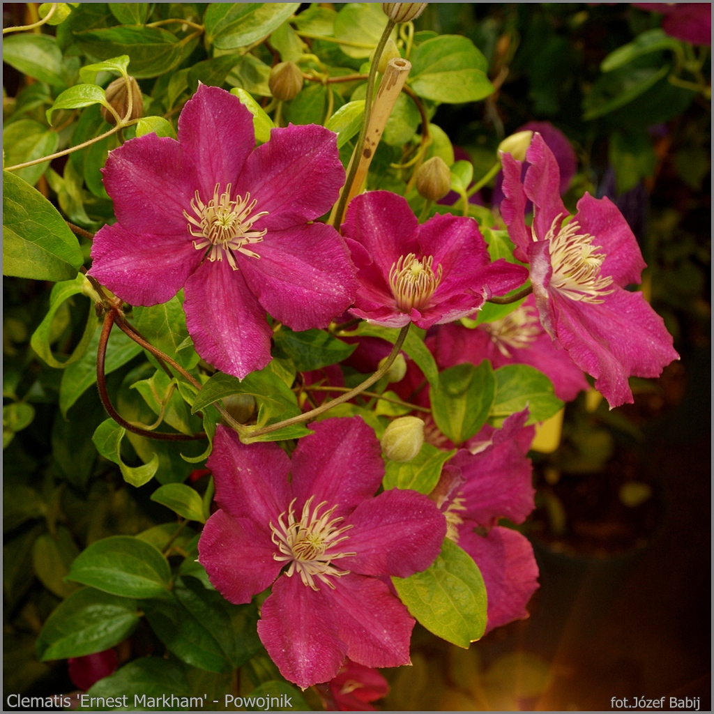 plant gallery encyklopedia ro lin clematis 39 ernest markham 39 powojnik 39 ernest markham 39. Black Bedroom Furniture Sets. Home Design Ideas