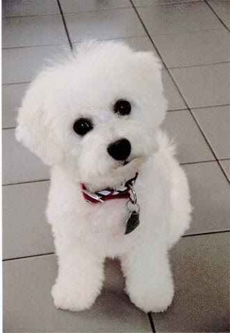 Cute Bichon Frise-so fluffy