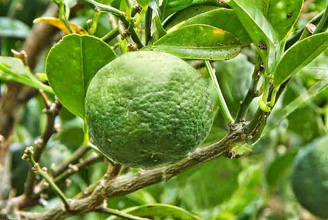 green tangerines