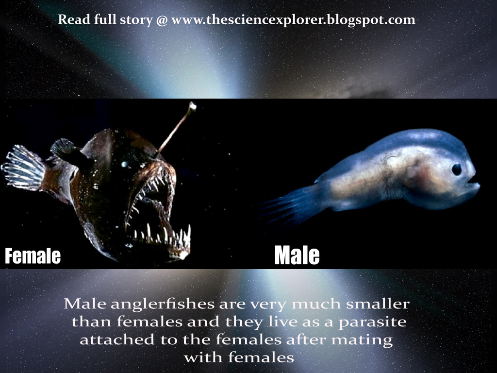 Science At Your Home: Male angler Fish - A parasite for Male Angler Fish Vs Female Angler Fish  165jwn