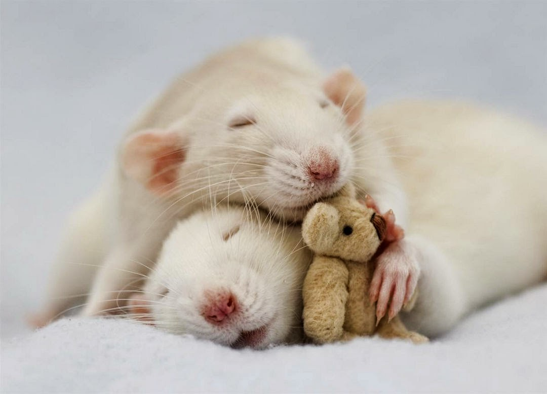 cute-teddy-sleep-with-hamster-pet-1080x777.jpg