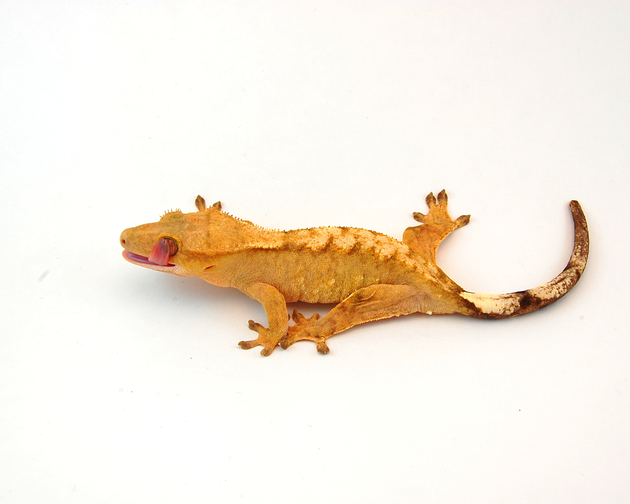 Crested gecko care page 72 scientists from a healthy we can say we found nvjuhfo Images