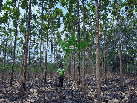 Pohon_Jati_Solomon_Umur_3_tahun_Semarang2