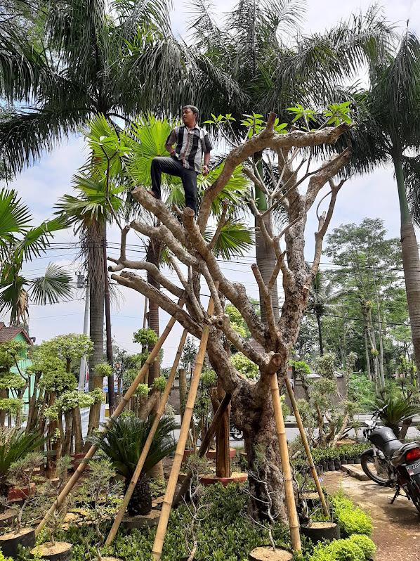 "HOT ""Pohon Kamboja Fosil"""