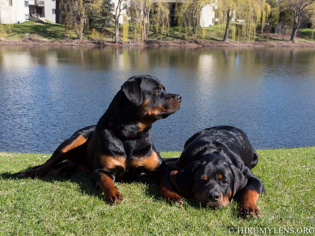 American Vs German Rottweilers Is The Rotty The Right Friend For