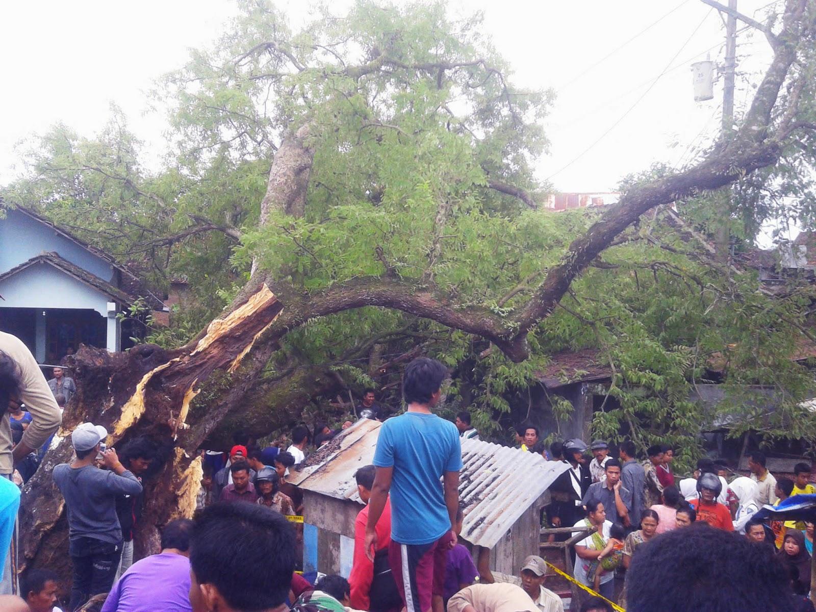 Pohon Raksasa Asem Kemis Kayen Tumbang