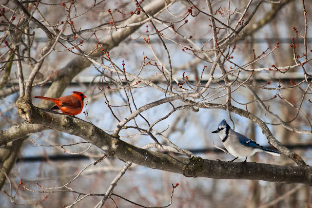 Ohio Cardinal and Blue Jay in February