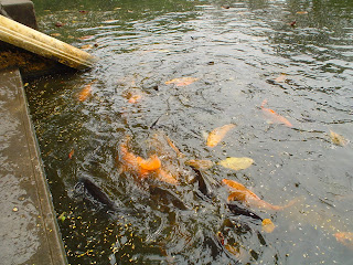 Fishes in the lake near Ho Chi Minh wooden house (Hanoi)