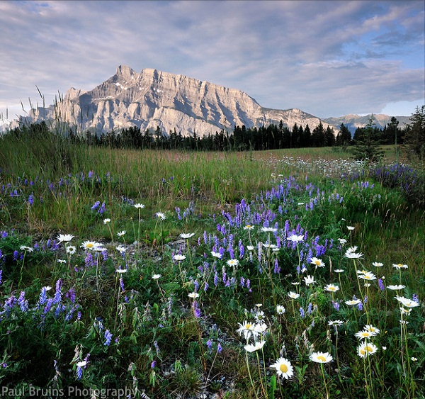 Mount Rundle Wild-Flowers