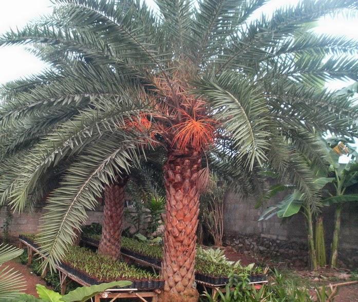 JUAL ENEKA POHON PALEM | kenari robusta (duri kuning), kenari silver, australis, sadeng minyak,bismarkia, phoenix, merah | suplier tanaman hias dan rumput taman
