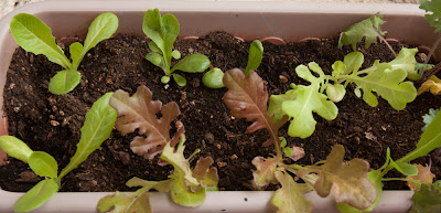 Mesclun seedlings