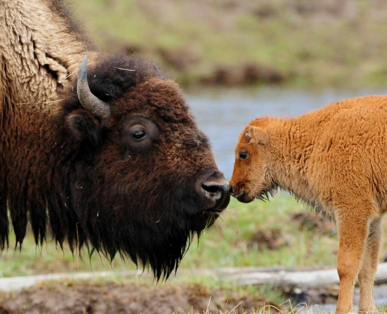 Bison   The Biggest An...