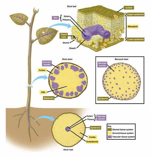 Laporan jaringan tumbuhan seadwik laporan jaringan tumbuhan ccuart Choice Image