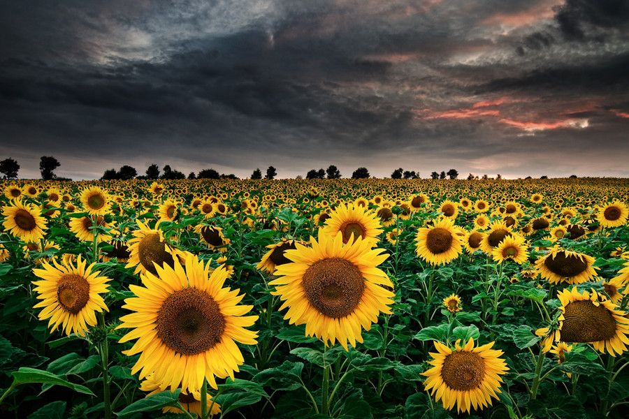 5. Sunflowers of the Storm by Michael Breitung