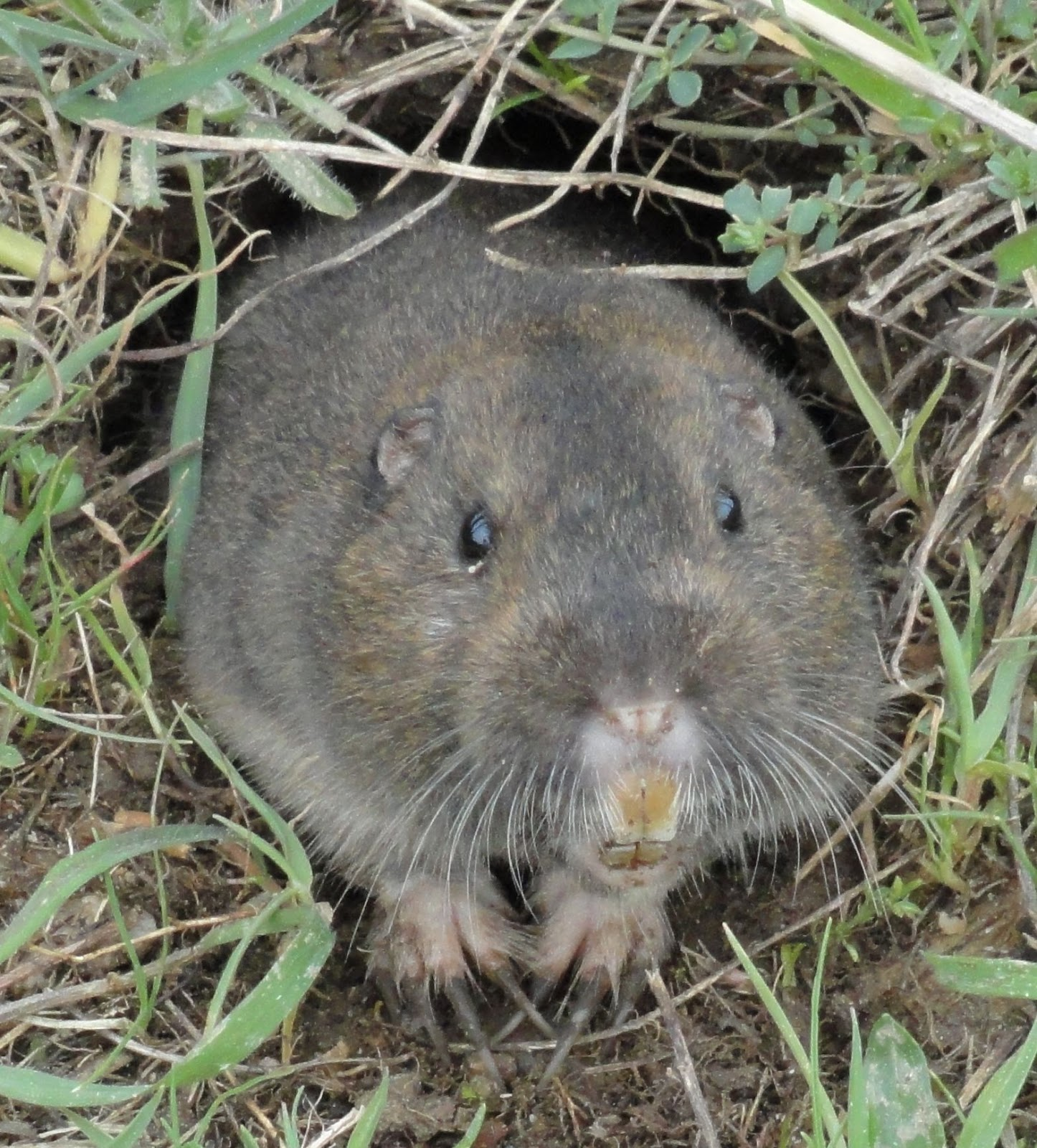 charming mole or gopher Part - 2: charming mole or gopher design ideas