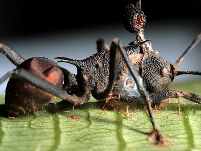 Ophiocordyceps fungus zombie ants