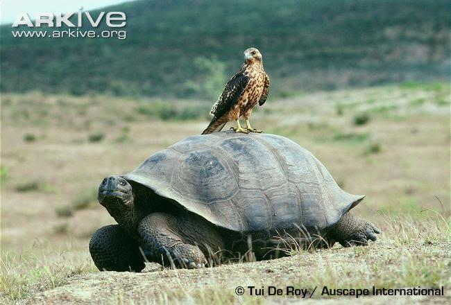 galapagos hawk Buteo galapagoensis