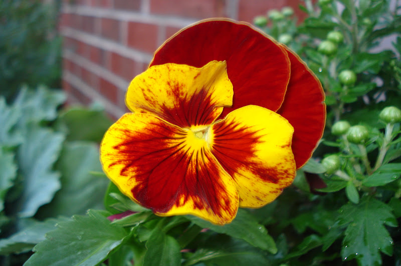 The Home Daybook Fall Flowers You Can Grow That