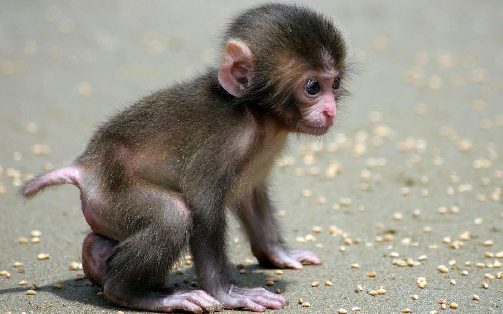 Best Beautiful Wallpaper Monkey Indian Monkey Funny