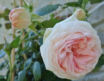 { La pianta del mese: Rosa 'Pierre de Ronsard' }