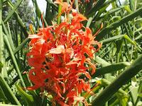 原種はインドからヒマラヤ地方にかけて自生するという。