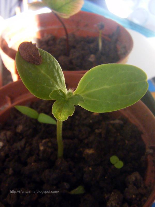 Le avventure della mia fantasia: Coltivare le angurie: semina ...