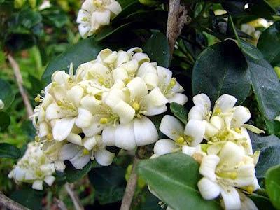 10 Jenis Bunga Paling Harum di Dunia - Jasmine