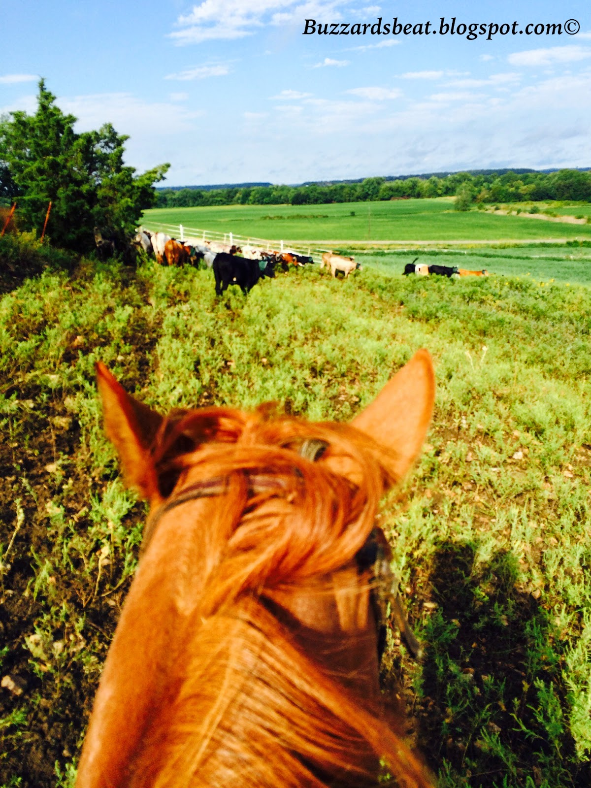 Gathering cattle from horseback on Labor Day