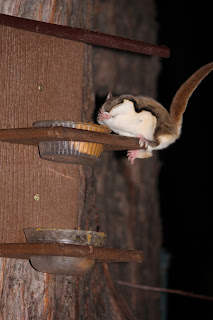 A flying squirrel sits on a feeder