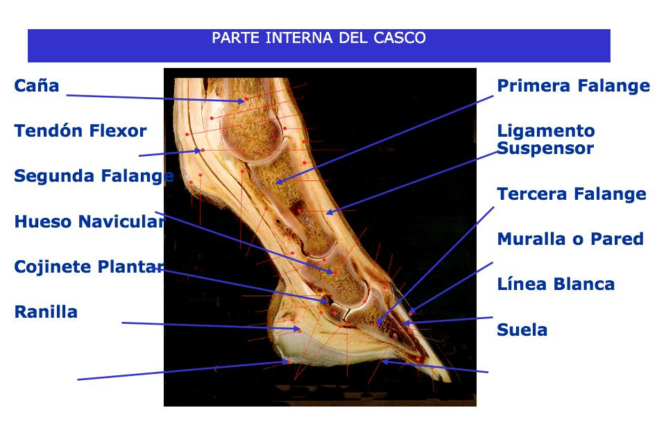 Sin Casco no hay Caballo: Anatomia Del Casco. M.V Carlos López