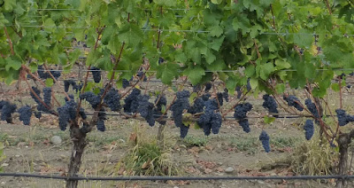 Grape vines loaded with purple grapes