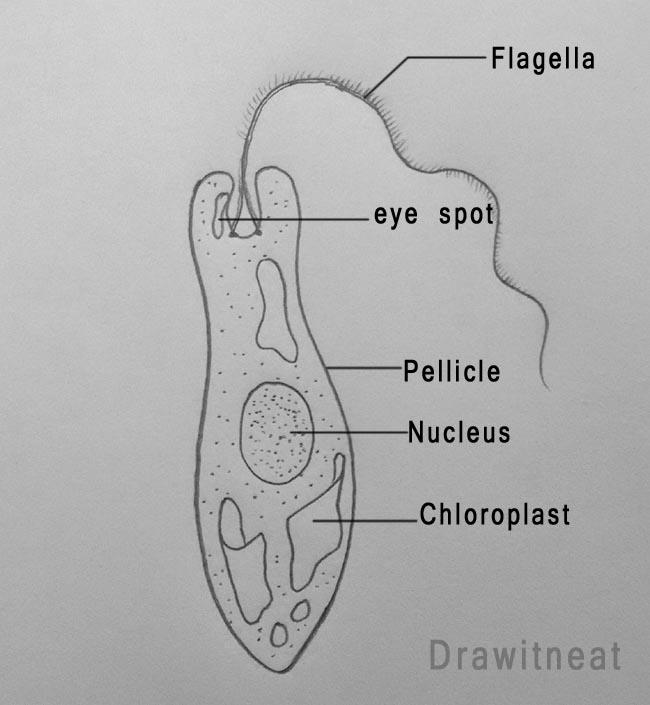Draw It Neat How To Draw Euglena