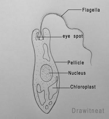 diagram of euglena draw it neat : how to draw euglena diagram of euglena labled