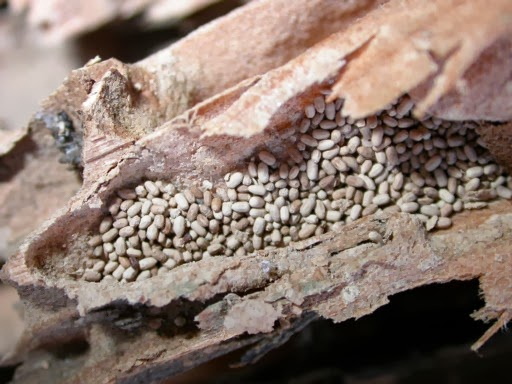 Marin termite control how many types of termites for Queen pellet