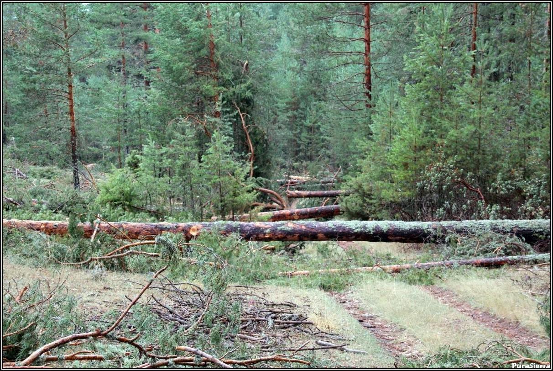 Corta de pinos albares en El Brezal (Masegosa)
