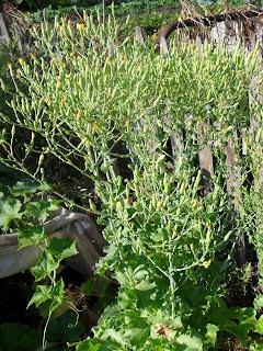 Семенной куст салата