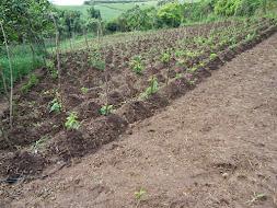 Plantio de inhame orgânico