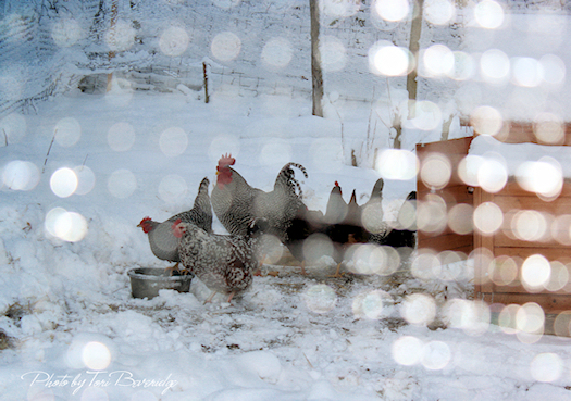 Bokeh Chickens in The Snow Photo by Tori Beveridge AHWT