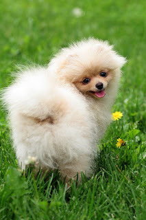 Pomeranian Puppy Pictures