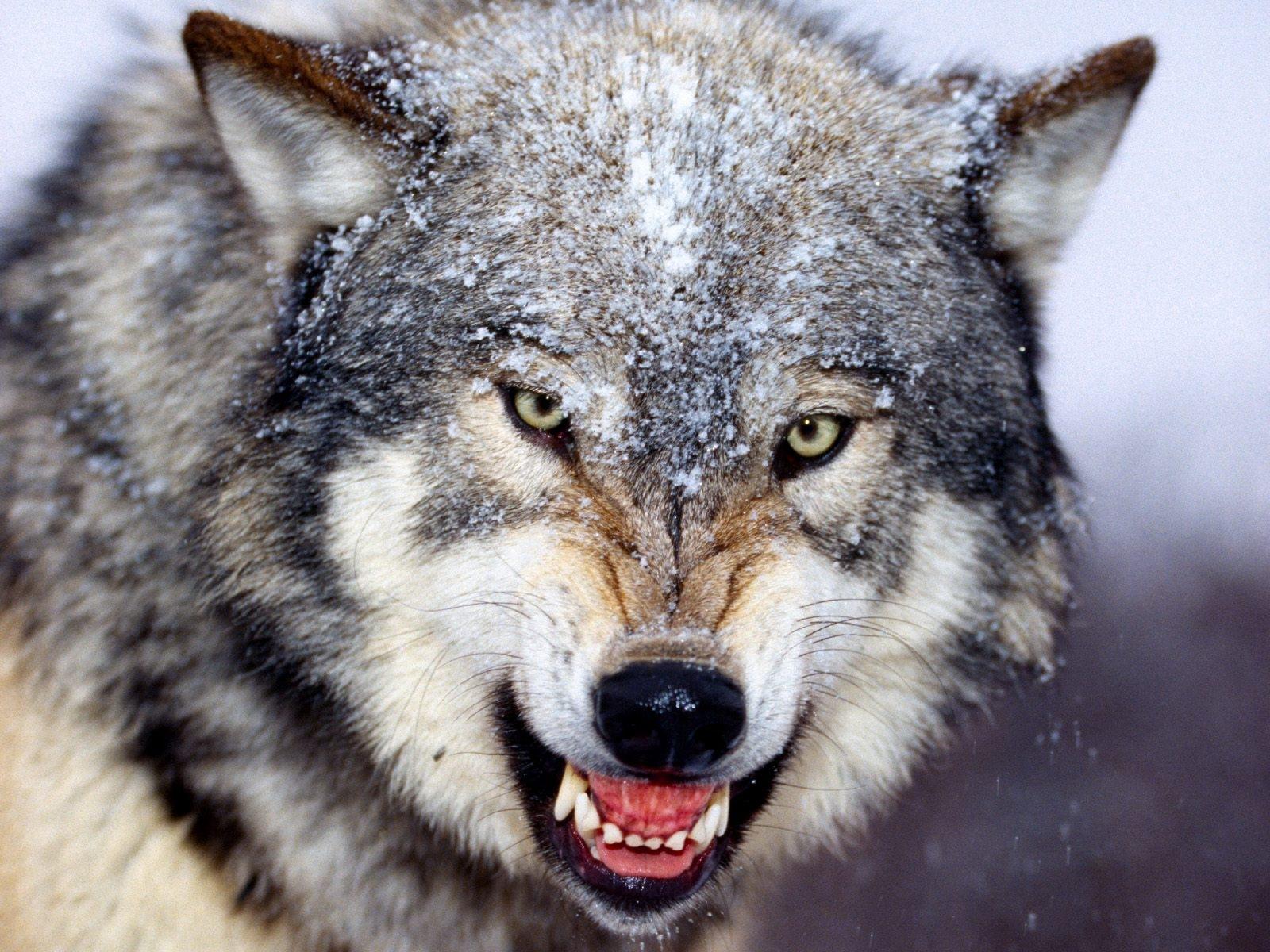 Wolf Full HD Wallpapers, Wolf Wallpapers, Wolf HD Desktop ... Wallpaper Hd Wolf