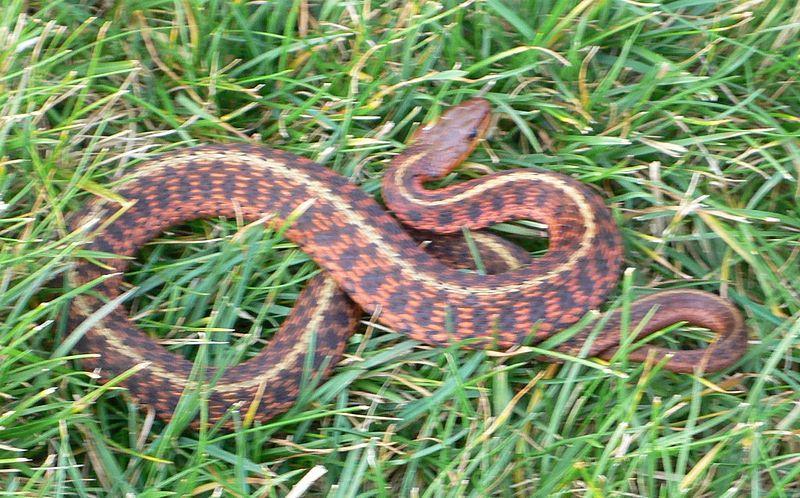 snake,pet