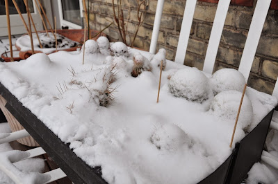 Snow covered cacti growing in window boxes