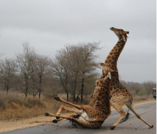 funny image of two giraffes glide