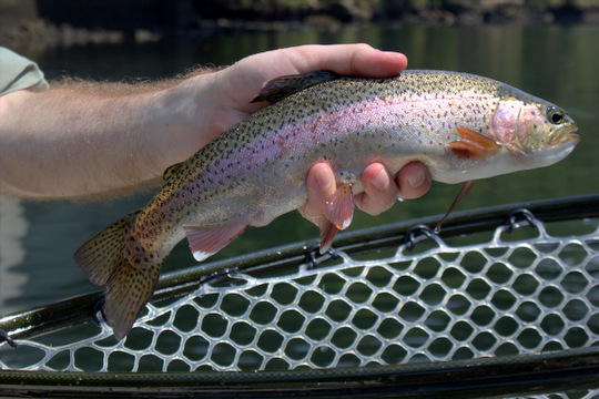 Caney Fork rainbow trout