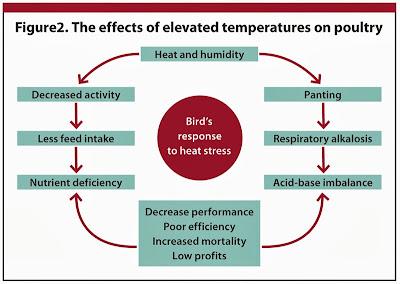 Ảnh hưởng của stress nhiệt trên gia cầm.