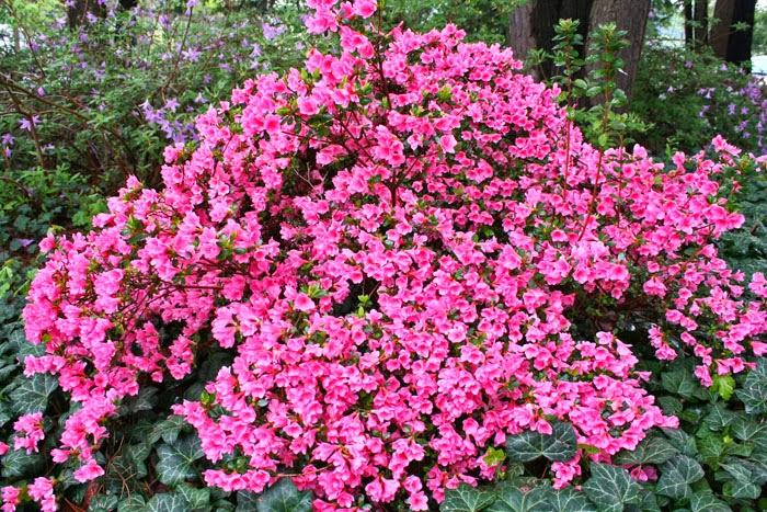 Peces y plantas ornamentales rhododendron spp rododendros - Rododendro arbol ...
