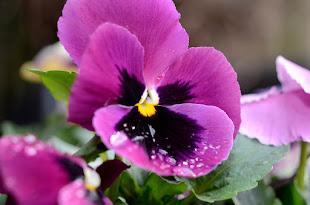 viooltje brengt voorjaar