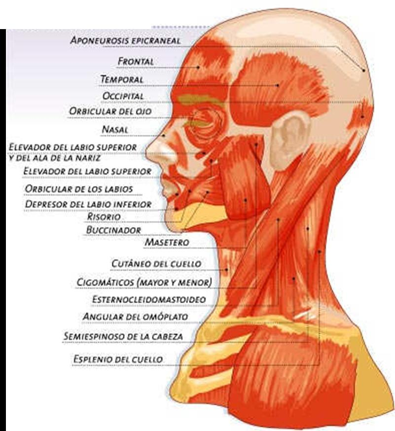 Superficial fascia of the neck