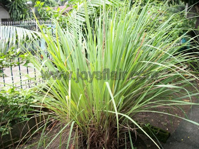 Lemongrass (Tanglad) A Natural Mosquito Repellent