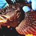 Sea Raven - Raven Fish